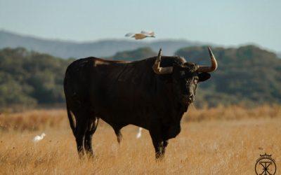 El toro bravo en los espacios naturales Cádiz